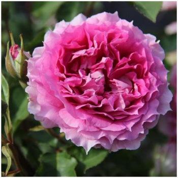 rosier 'Princesse d'Orient'