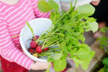 Cueillette des radis