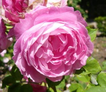 Rosier 'Reine Victoria' - Hortus Focus