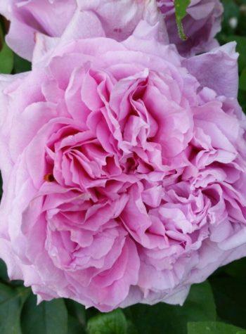 rosier Archiduchesse Elisabeth d'Autriche - Hortus Focus