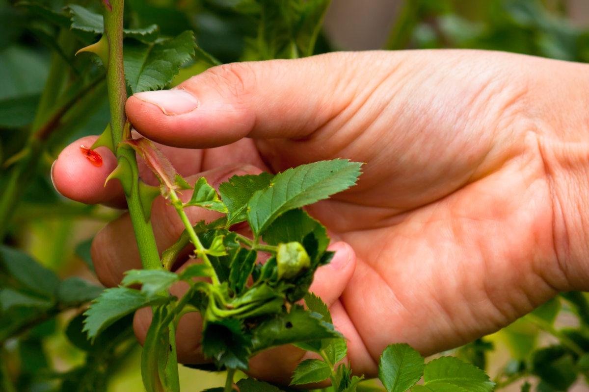 rosier épine tetanos - Hortus Focus