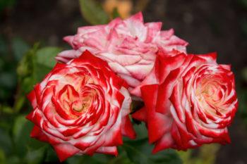 rosier 'Imperatrice Farah' - Hortus Focus