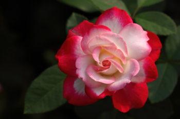 rosier jubile Prince de Monaco - Hortus Focus
