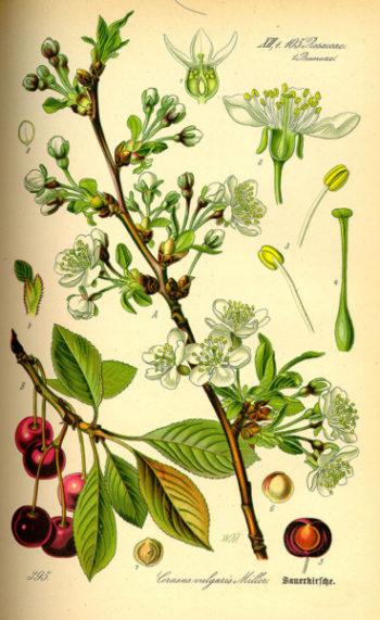 planche botanique prunus cerasus