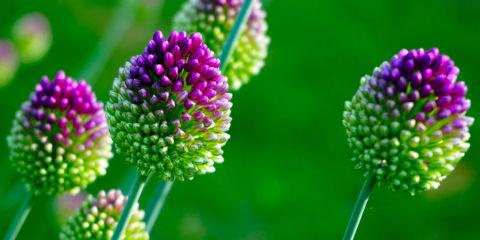 Allium sphaecocephalon - Hortus Focus