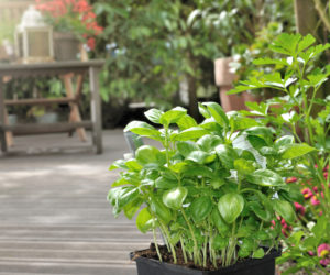 Plantes aromatiques - Hortus Focus