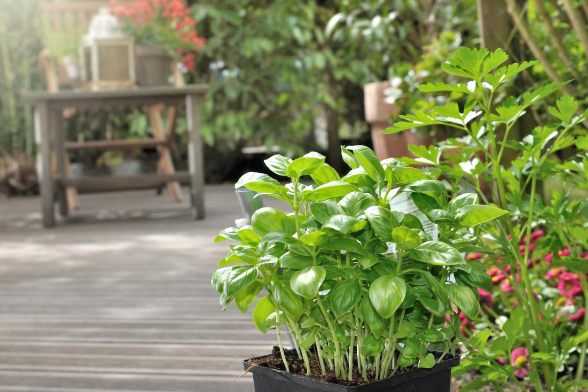 Plantes Aromatiques En Jardinière plantes aromatiques en jardinière et en pot - hortus focus i mag