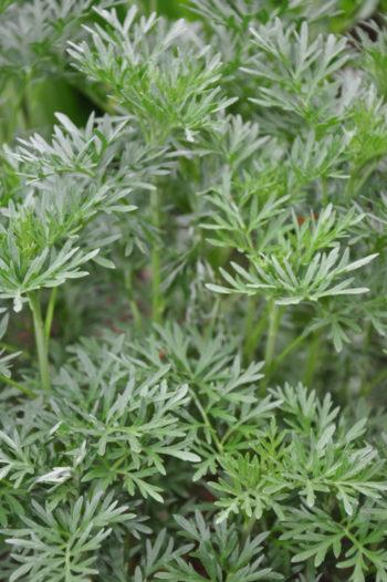 plante aromatique : armoise hortus focus