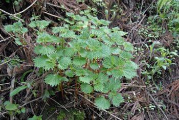 Boehmeria tricuspis - Hortus Focus