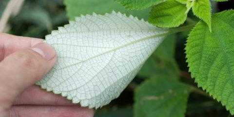 Boehmeria nivea - Hortus Focus