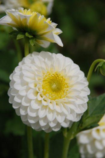 dahlia Orage blanc - Hortus Focus