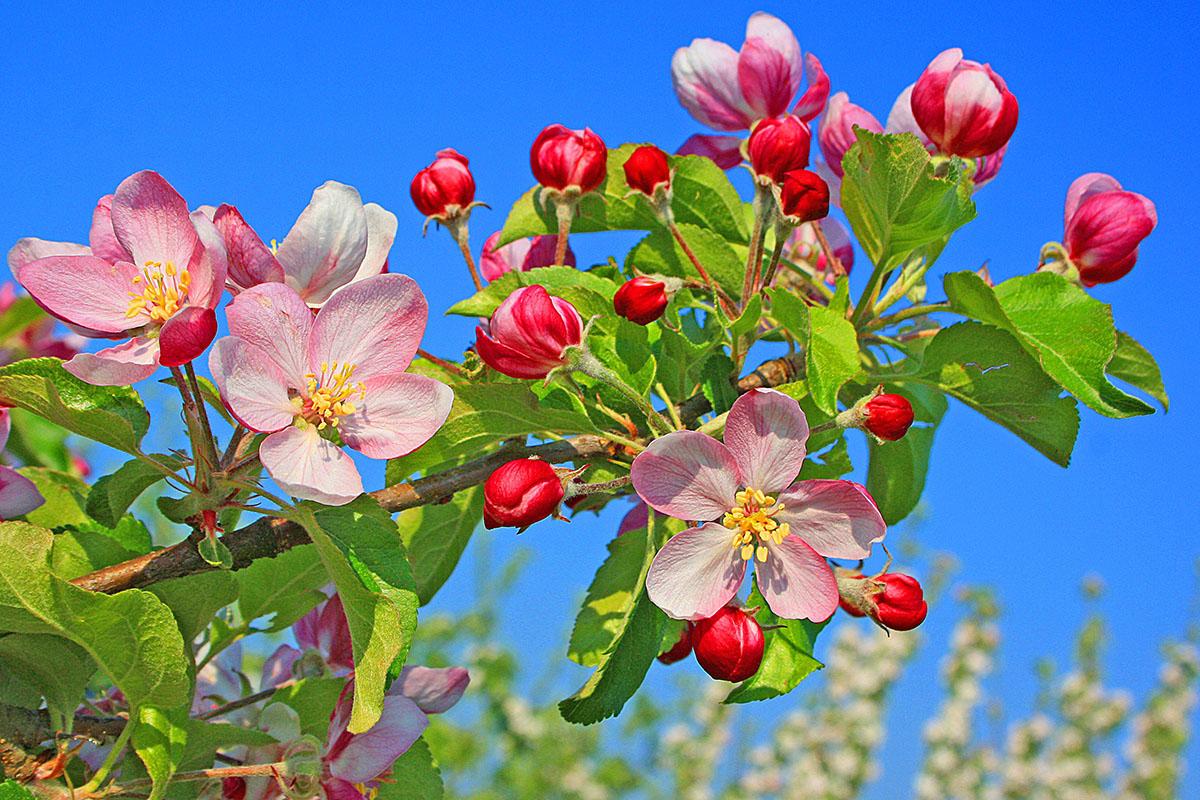Fleur printemps - hortus focus
