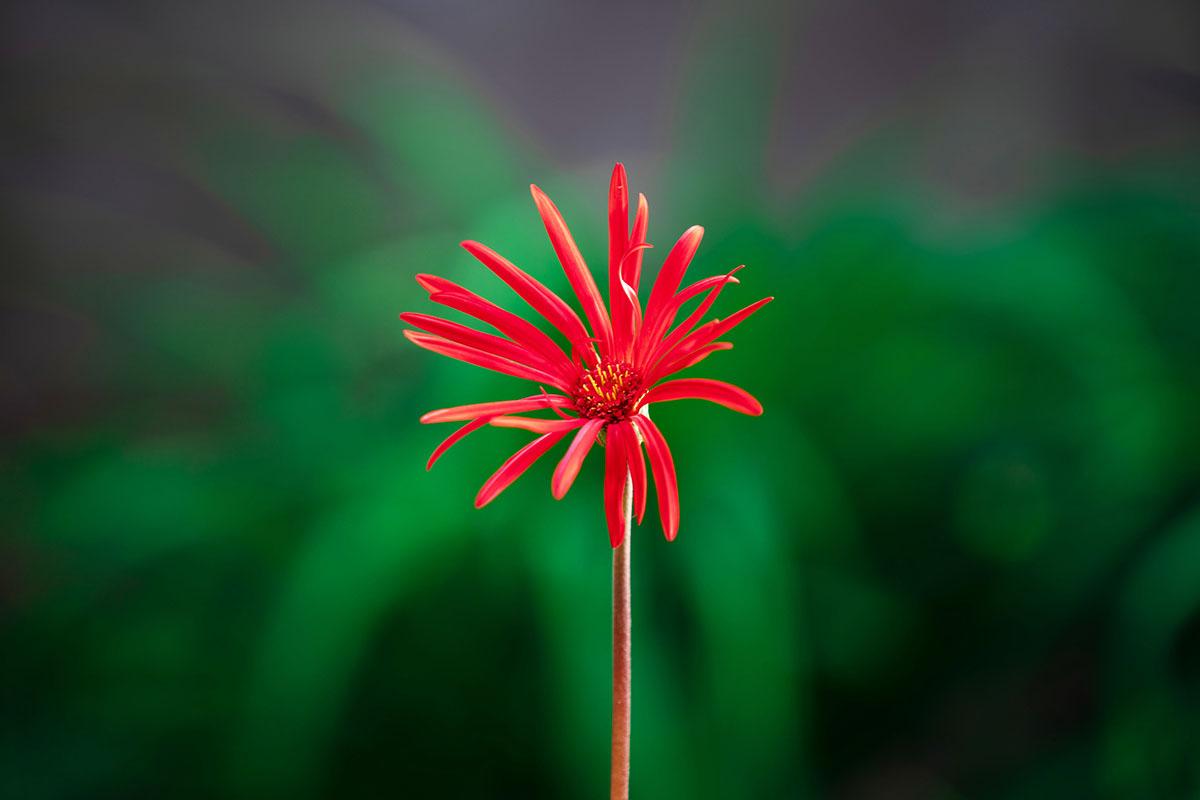 fleur rouge - Hortus Focus