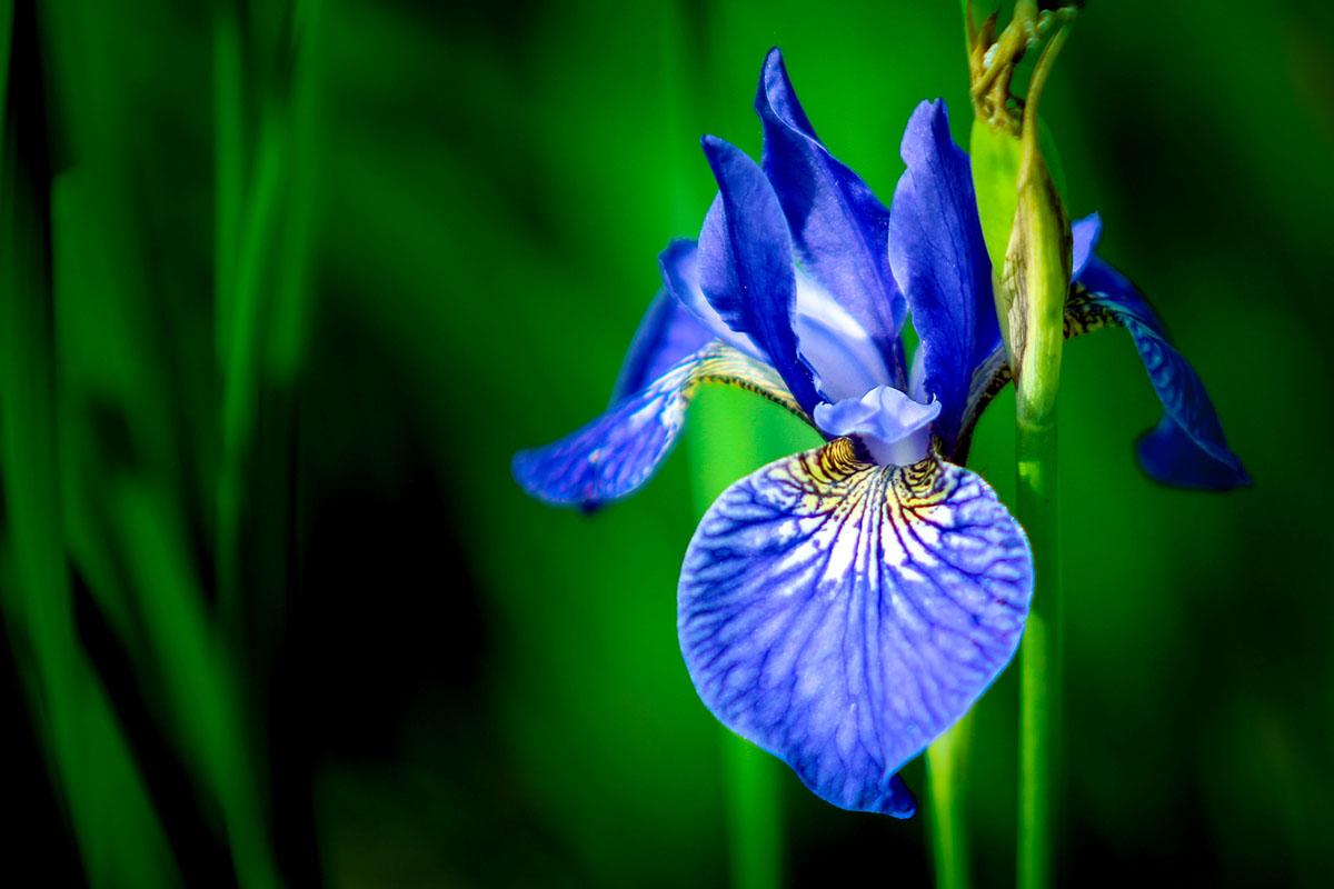 iris - hortus focus