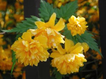 Kerria japonica - hortus focus
