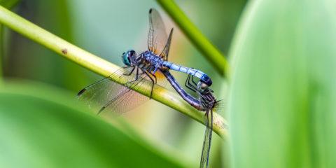 libellule - hortus focus