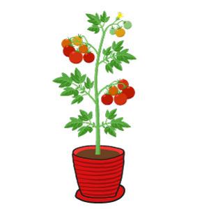 tomate cerise : récolte