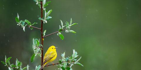 oiseau dans sorbier - Hortus Focus