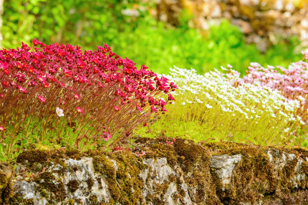 saxifrages sur mur - hortus Focus