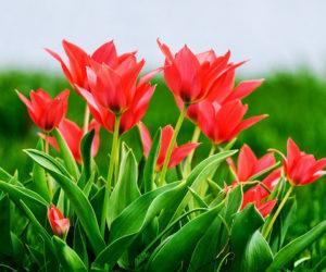 tulipe - Hortus Focus