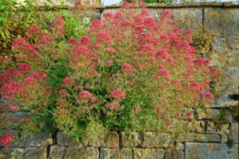 Valériane rouge - Hortus Focus