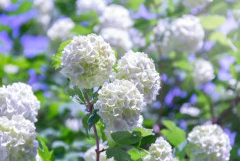 Viburnum opulus - Hortus Focus