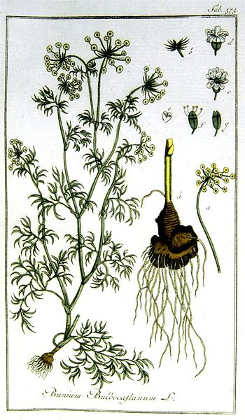 Bunium Bulbocastanium