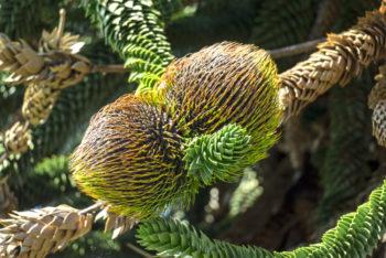 Araucaria - Hortus Focus
