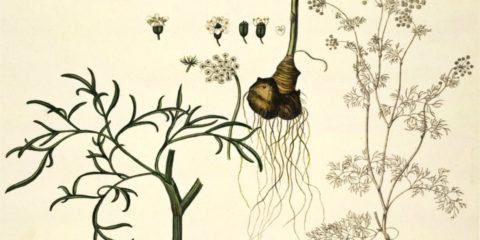 Bunium bulbocastanum
