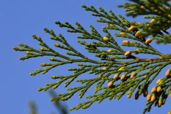 Calocedrus decurrens - Hortus Focus