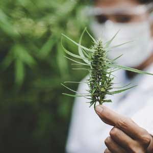 Les plantes stupéfiantes : cannabis