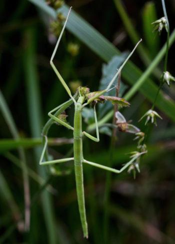 Clonopsis gallica - Hortus Focus
