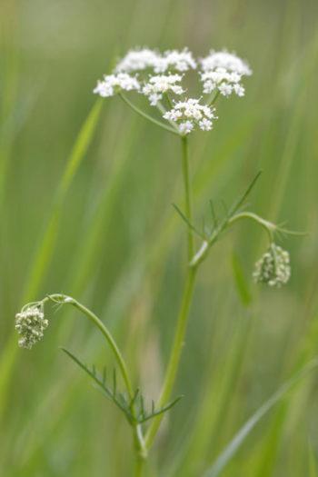 Conopodium majus - Hortus Focus