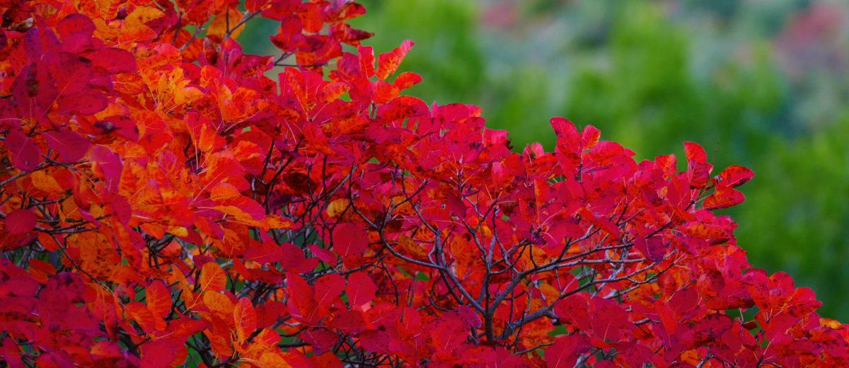Cotinus à l'automne