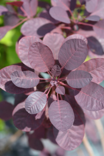Cotinus Royal Purple - Hortus Focus