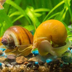 Escargot d'eau douce