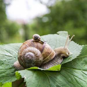 Escargots : parent et enfant