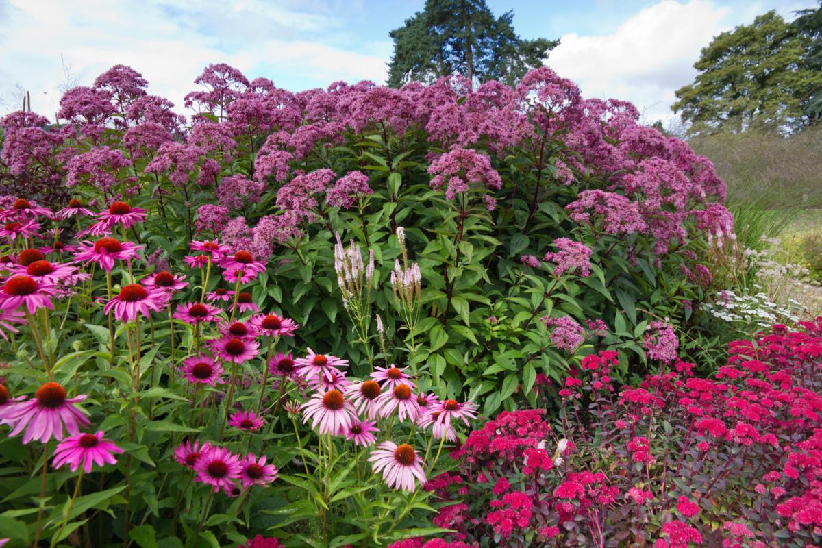 Eupatoires - rudbeckia - Hortus Focus