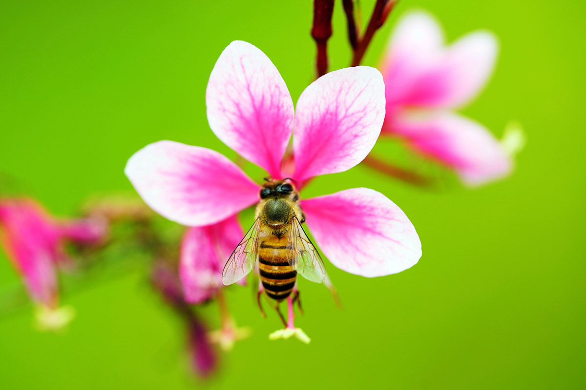 abeille sur fleur - Hortus Focus