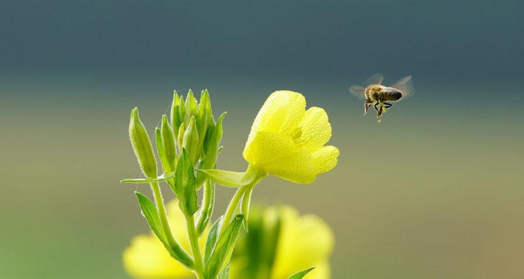 abeille en vol