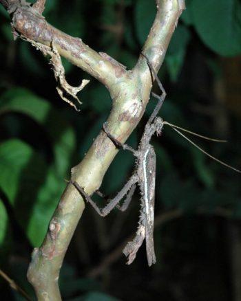 Heteropteryx dilatata - Hortus Focus