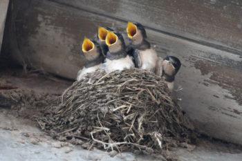 bébés hirondelles -Hortus Focus