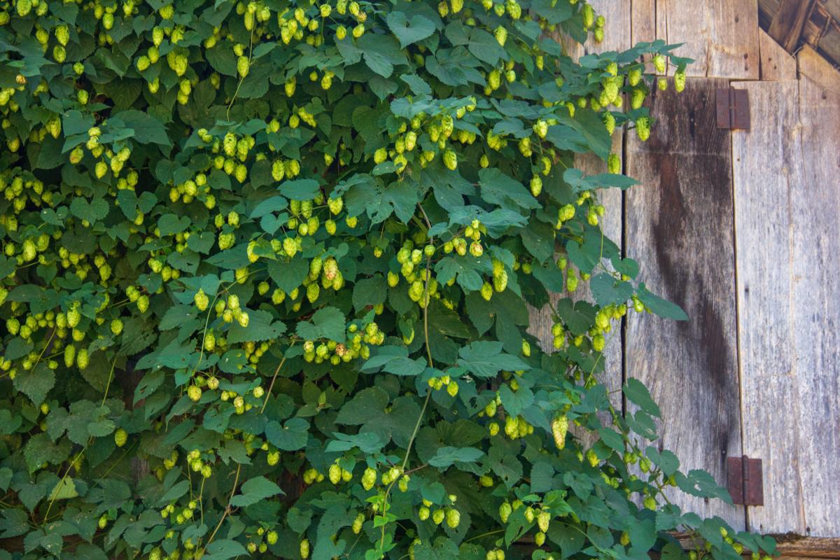 Plantes grimpantes : humulus lupulus