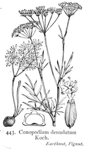 Conopodium majus -