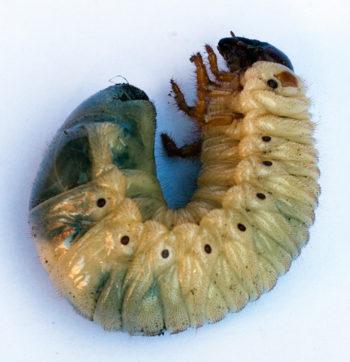 larve cetoine - Hortus Focus