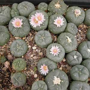 Les plantes stupéfiantes : Lophophora williamsii