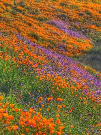 pavot de californie - Hortus Focus