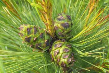 Pinus pumila - Hortus Focus