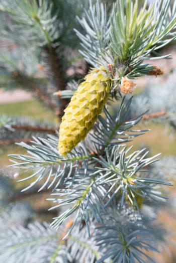 Picea pungens 'Glauca' - Hortus Focus