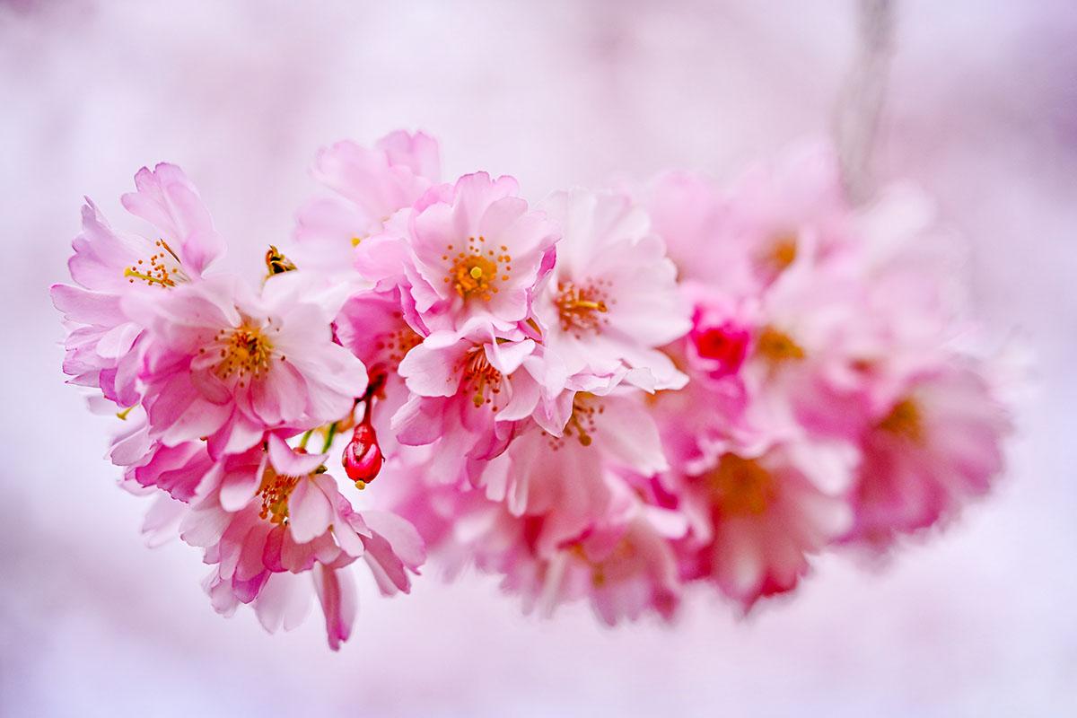 Prunus - Hortus Focus